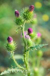 Травы для лечения печени - расторопша