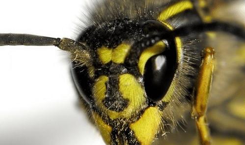 Укус осы, оказание первой помощи, избежание последствий