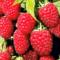 Полезная ягода малина и ее применение в народной медицине